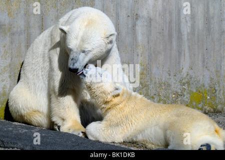 Eisbären - Stockfoto