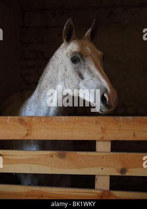 Appaloosa Pferd im dunklen Stall - Stockfoto