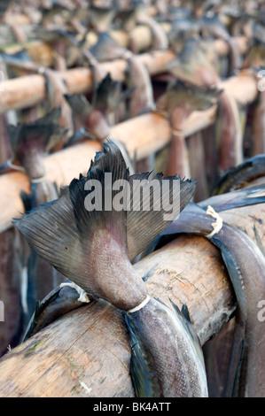 Trocknung von Kabeljau, traditionellen Stockfisch auf Outdoor-Gestellen auf Lofoten in Norwegen zu produzieren - Stockfoto