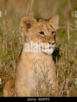 Löwe (Panthera Leo) Cub, Masai Mara National Reserve, Kenia, Ostafrika, Afrika - Stockfoto