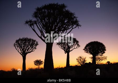 Zittern Sie Bäume (Aloe Dichotoma), zucken Sie Baum Wald Silhouette, Keetmanshoop, Namibia, Afrika - Stockfoto