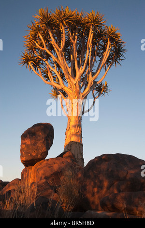 Zittern Sie Baum (Aloe Dichotoma), zucken Sie Baum Wald, Keetmanshoop, Namibia, Afrika - Stockfoto