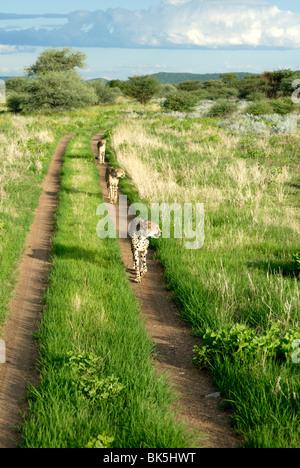 Drei Geparden Weg in Etosha Nationalpark, Namibia, Afrika - Stockfoto