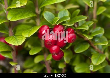 preiselbeere foxberry preiselbeeren mountain cranberry. Black Bedroom Furniture Sets. Home Design Ideas