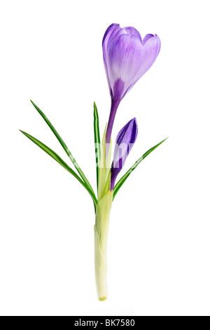 Lila Krokus Frühlingsblume isoliert auf weißem Hintergrund Stockfoto