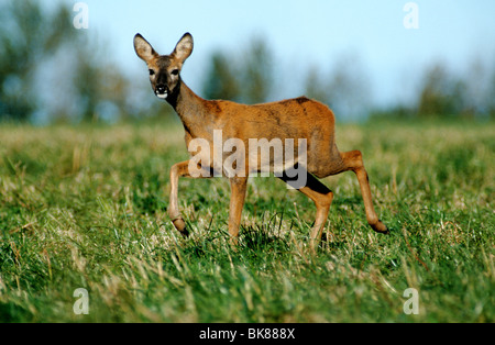Europäische Rehe (Capreolus Capreolus), Doe zu Fuß vorsichtig durch den Rasen, Wechsel von Sommer zu Wintermantel - Stockfoto
