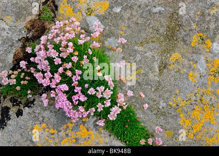 Meer Sparsamkeit (Armeria Maritima) und Flechten auf Fair Isle, Shetland, Schottland, Vereinigtes Königreich, Europa - Stockfoto