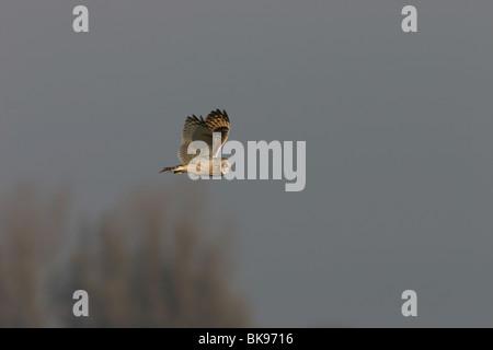 Fliegende Sumpfohreule - Stockfoto
