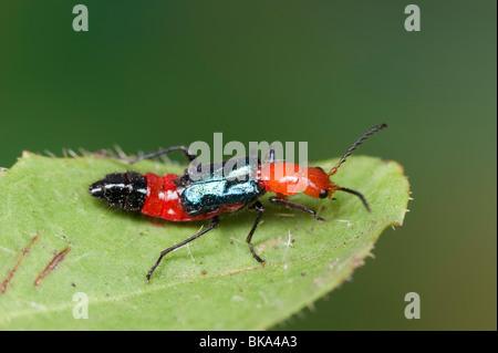 Rote und blaue Blume Käfer - Stockfoto