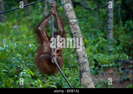Eine juvenile Orang Utan, Pongo Pygmaeus, spielen, Naturschutzgebiet, Shangri-La Rasa Ria, Sabah, Malaysia - Stockfoto