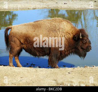 American Buffalo - Bison bison - Stockfoto
