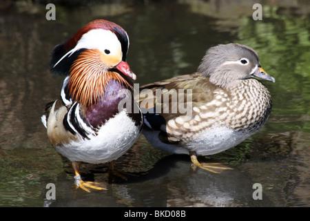 Paar der Mandarinente Aix Galericulata genommen bei Martin bloße WWT, Lancashire UK Stockfoto