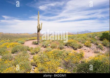 gelbe fr hlingsblumen und saguaro kaktus in sabino canyon tucson az stockfoto bild 8306134 alamy. Black Bedroom Furniture Sets. Home Design Ideas