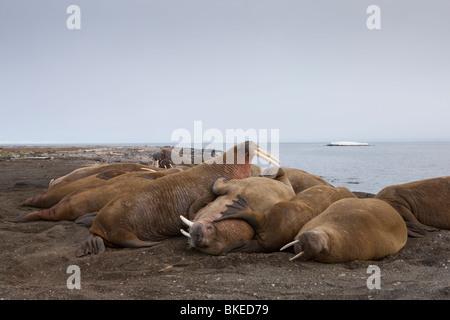 Norwegen, Spitzbergen, Nordaustlandet, Walross (Odobenus Rosmarus) ruht auf Kiesstrand auf Lagøya Insel - Stockfoto
