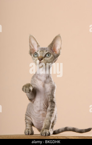 Devon Rex Kitten - Stockfoto