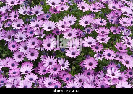 Kap-Marguerite (Dimorphotheca Ecklonis = Osteospermum Ecklonis) Blumen mediterranen Garten Spanien in Südafrika - Stockfoto
