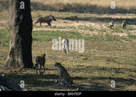 Geparden jagen Warzenschwein, Krüger-Nationalpark, Südafrika - Stockfoto
