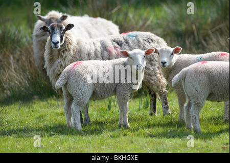 Junge baby Lämmer und ihre Mutter grasen auf einer Wiese in devon - Stockfoto