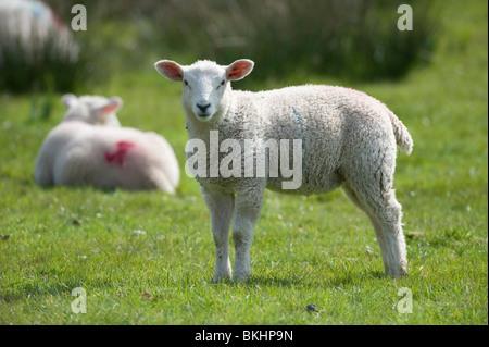 Ein junges Baby Lamm grasen auf einer Wiese in devon - Stockfoto