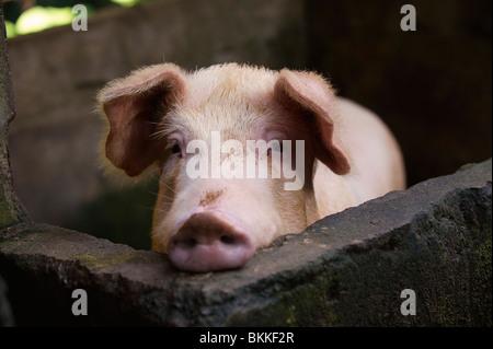 Schwein im Stift - Stockfoto