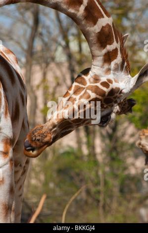 Giraffe gesehen an ungewöhnlichen Stellen bücken mit Zunge pocking - Stockfoto