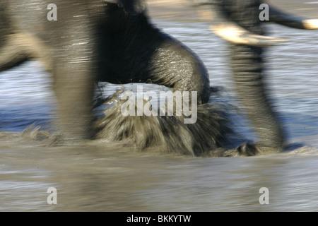 Afrikanischer Elefant, Kruger Park, Südafrika, Bewegung, Spritzen - Stockfoto