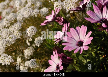 "Kap Marguerite (osteospermum Ecklonis ""jamboana light Purple' syn. dimorphotheca Ecklonis ""jamboana hell-lila') - Stockfoto"