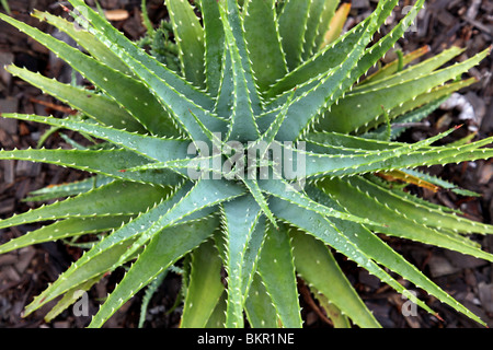 aloe vera stockfoto bild 82280028 alamy. Black Bedroom Furniture Sets. Home Design Ideas