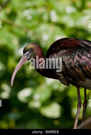 Sichler (Plegadis Falcinellus) - Stockfoto