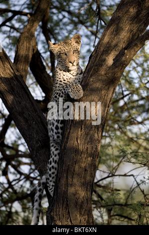 Junge männliche Leoparden im Baum, Namibia, Afrika. - Stockfoto
