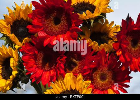 Sonnenblumen auf blauen Himmel Hintergrund Display Blumenstrauß Nahaufnahme closeup - Stockfoto