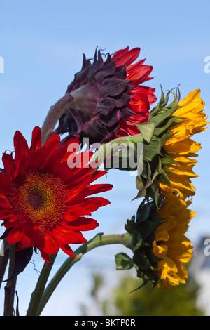 Sonnenblumen und blauer Himmel Hintergrund Display Blumenstrauß Nahaufnahme closeup - Stockfoto