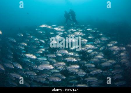 Taucher über Schule Bigeye Makrelen Caranx Sexfasciatus, Layang Layang, Sabah, Malaysia, Borneo - Stockfoto