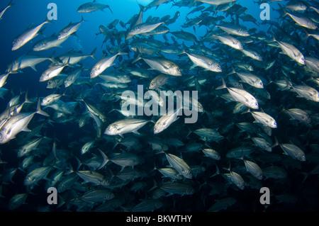 Große Schule von Bigeye Trevally, Caranx Sexfasciatus, Layang Layang, Sabah, Malaysia, Borneo - Stockfoto