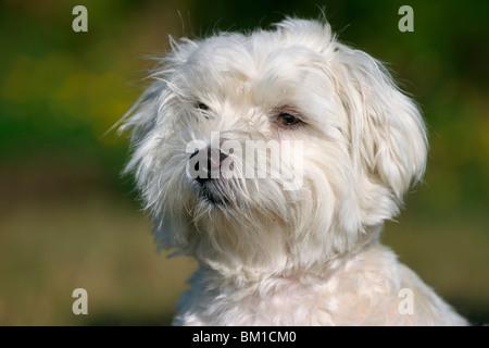 Malteser / Malteser Porträt - Stockfoto