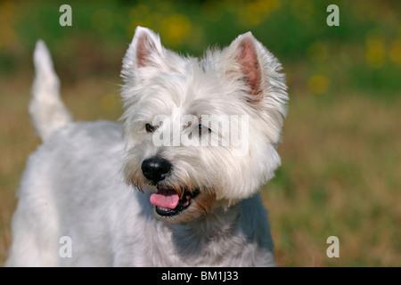 West Highland White Terrier Portrait - Stockfoto