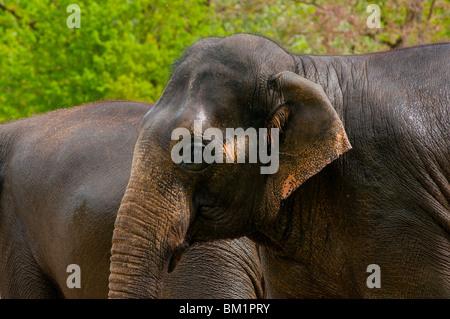 Indischer Elefant noch nass nach dem Schwimmen - Stockfoto