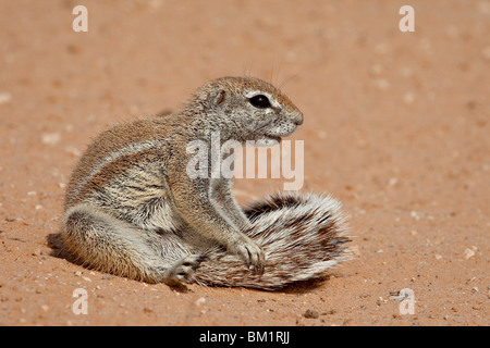 Cape Boden Eichhörnchen (Xerus Inauris) Pflege, Kgalagadi Transfrontier Park, ehemalige Kalahari Gemsbok National - Stockfoto