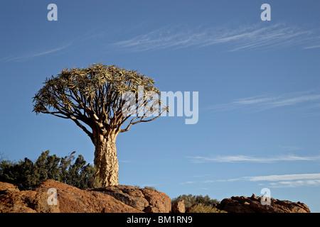 Köcher Baum (Kokerboom) (Aloe Dichotoma), Springbok, Südafrika, Afrika - Stockfoto