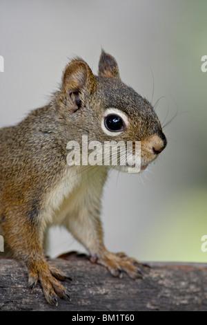 Eichhörnchen (Fichte Eichhörnchen) (Tamiasciurus Hudsonicus), Wasilla, Alaska, Vereinigte Staaten von Amerika, Nordamerika - Stockfoto