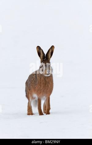 Braun Feldhase (Lepus Europaeus) sitzen im Schnee im winter - Stockfoto