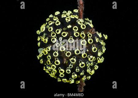 Kolonie von Manteltieren, Clavelina Robusta, Lembeh Strait, Nord-Sulawesi, Indonesien - Stockfoto