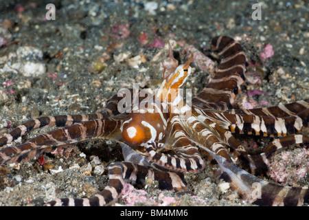 Wonderpus Tintenfisch, Wunderpus Photogenicus, Lembeh Strait, Nord-Sulawesi, Indonesien - Stockfoto