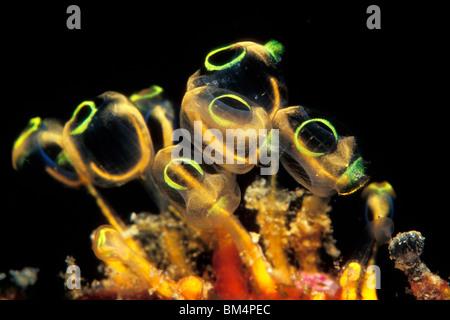 Kolonie von Manteltieren, Clavelina Robusta, South Pacific, Solomones Inseln - Stockfoto
