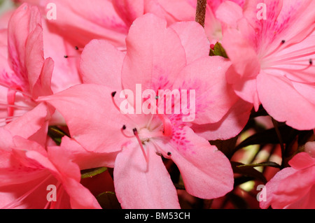 Nahaufnahme der Rosa Azalee blüht - Stockfoto