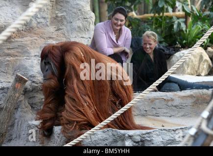 Orang-Outang, Orang-Utan, Affe im Zoo. - Stockfoto