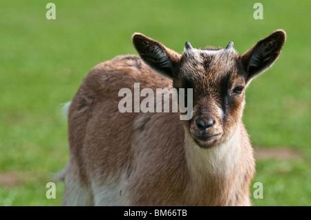 Young Hausziege Capra hircus - Stockfoto