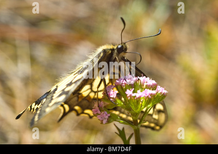 Schwalbenschwanz Schmetterling (Papilio Machaon) auf jährliche Baldrian (Centranthus Calcitrapae) - Stockfoto