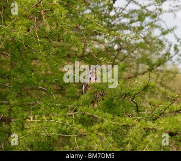 Lange eared Eule (Asio Otus) hocken in Lärche Baum - Stockfoto