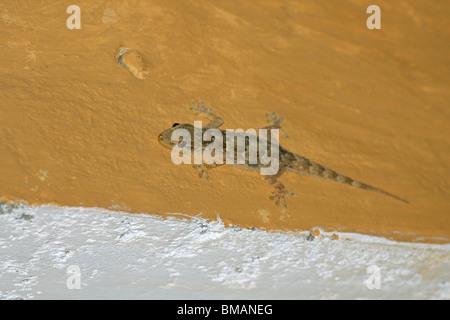 Yellow bellied Haus Gecko (Hemidactylus Flaviviridis) an einer Wand in Kanha, Madhya Pradesh, Indien